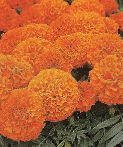 Suttons African Marigold Space Hopper - Image