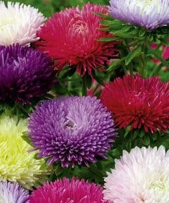 Suttons Aster Tall Fraggle Mix - Image